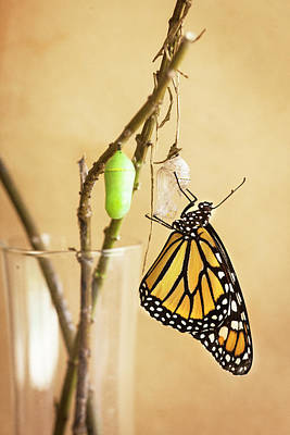 Monarch Butterflies Art Print by Rich Franco