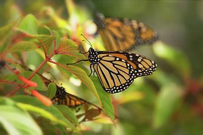 Photograph - Monarch Butterflies  by Saija Lehtonen