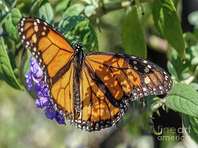 Photograph - Monarch Butterfly by Cathy Donohoue