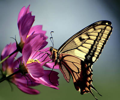 Photograph - Monarch Butterfly by Daniel Hagerman