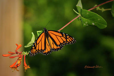 Photograph - Monarch Butterfly by Edward Peterson