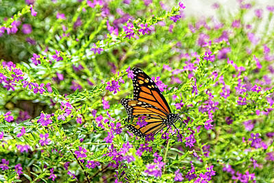 Photograph - Monarch Butterfly At The Pensacola Lighthouse by Kay Brewer