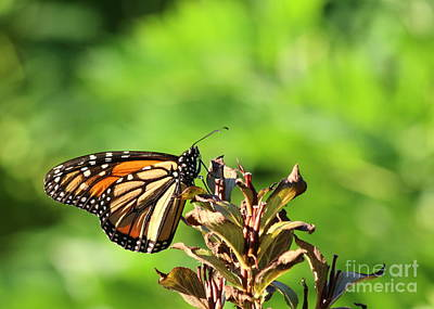 Photograph - Monarch Butterfly by Kenny Glotfelty
