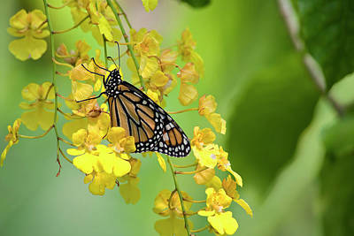 Photograph - Monarch Butterfly On Yellow Orchids by Jill Lang