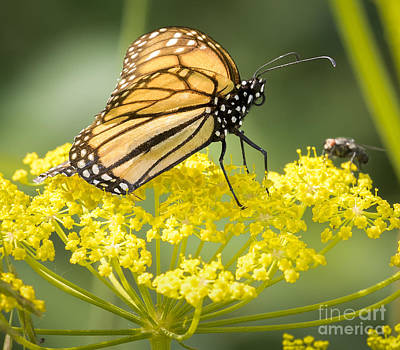 Photograph - Monarch Butterfly by Ricky L Jones