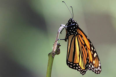 Monarch Butterfly Stony Brook New York Art Print by Bob Savage