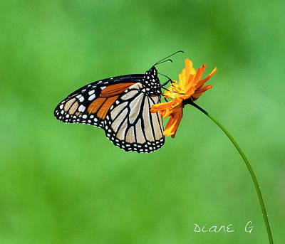 Photograph - Monarch by Diane Giurco
