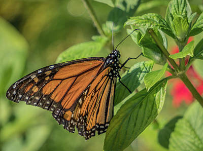 Photograph - Monarch by Jane Luxton