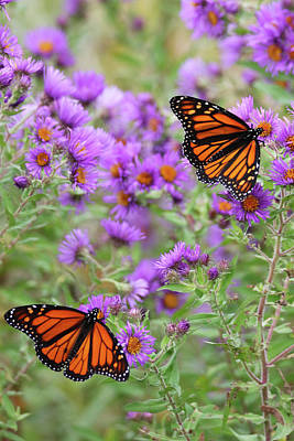 Photograph - Monarchs On Aster by Brook Burling