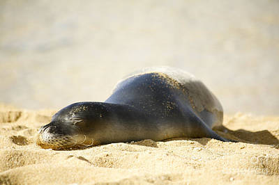 Kicka Witte Photograph - Monk Seal Pup by Kicka Witte - Printscapes