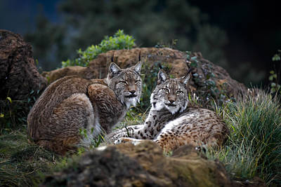 Lynx Photograph - Moonschein Lovers by Gianfranco Barbieri