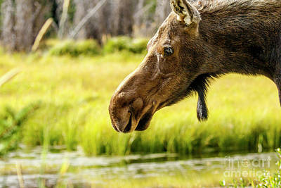 Photograph - Moose At Jackson Hole by Ben Graham