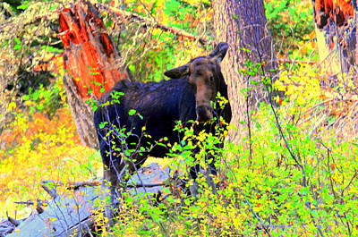 Moose At Moosehead Lake Original