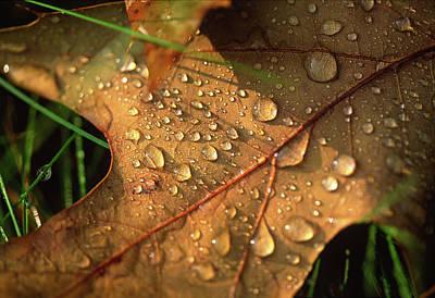 Photograph - Morning Dew On Oak Leaf by Bernard Lynch