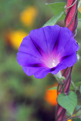 Photograph - Morning Glory by Vadim Levin