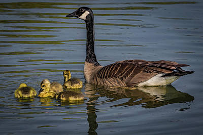 Photograph - Mother Goose by Ray Congrove