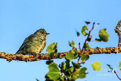 Photograph - Mountain Bluebird by Ben Graham