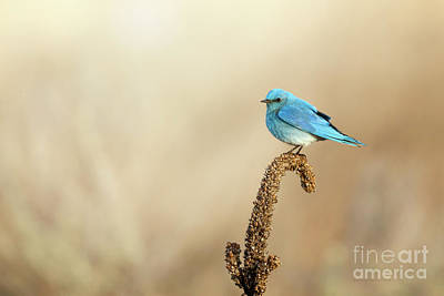 Photograph - Mountain Bluebird by Beve Brown-Clark Photography