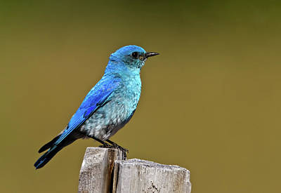 Photograph - Mountain Bluebird by Craig Strand
