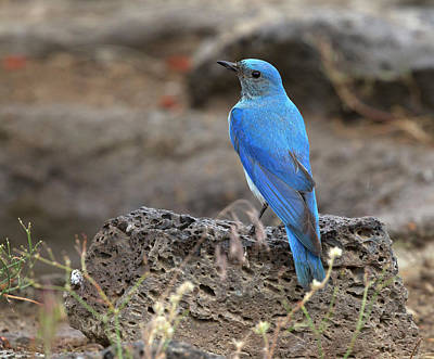 Photograph - Mountain Bluebird by Doug Lloyd