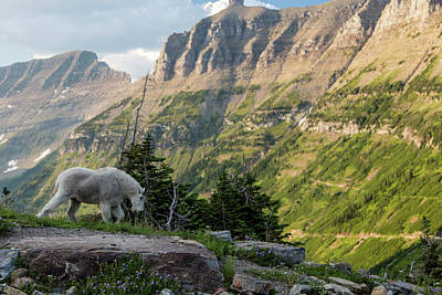 Photograph - Mountain Goat In Glacier National Park by John McGraw