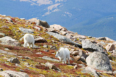 Steven Krull Royalty-Free and Rights-Managed Images - Mountain Goats on Mount Bierstadt in the Arapahoe National Forest by Steven Krull