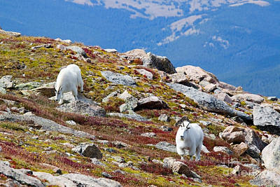 Photograph - Mountain Goats On Mount Bierstadt In The Arapahoe National Forest by Steve Krull