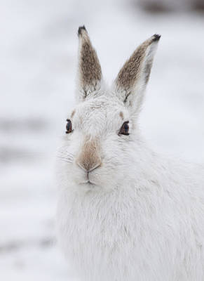 Photograph - Mountain Hare In The Snow - Lepus Timidus  #1 by Karen Van Der Zijden