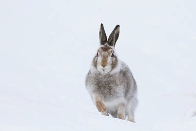 Art Print featuring the photograph Mountain Hare - Scotland by Karen Van Der Zijden