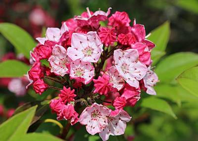Photograph - Mountain Laurel by Lucinda VanVleck