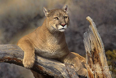 Photograph - Mountain Lion Felis Concolor by Dave Welling