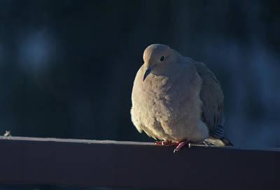 Photograph - Mourning Dove by David Halperin