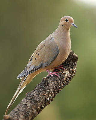 Photograph - Mourning Dove by Doug Herr