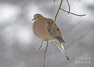 Grey Photograph - Mourning Dove by Gary Wing