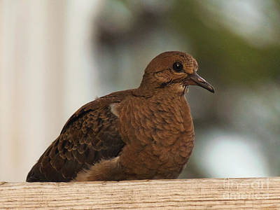 Photograph - Mourning Dove by Lita Kelley