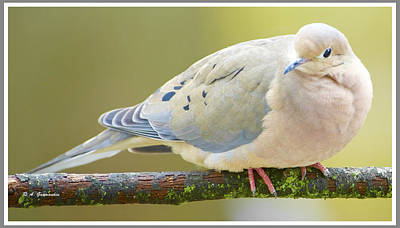 Mourning Dove On Tree Branch Art Print