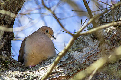 Photograph - Mourning Dove by Randy Bayne