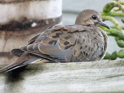 Photograph - Mourning Dove by Ron Davidson