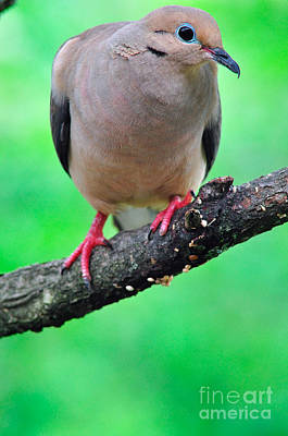 Mourning Dove Print by Thomas R Fletcher