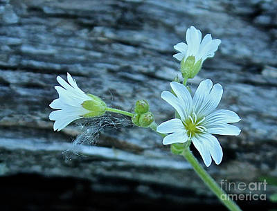 Photograph - Mouse-eared Chickweed by Ann E Robson