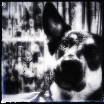 Photograph - Mr Darcy  #dogs #petstagram #gsd by Isabella F Abbie Shores