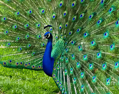 Photograph - Mr. Peacock by Mindy Bench