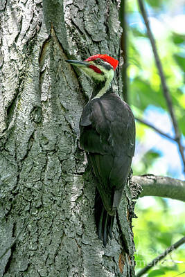 Photograph - Mr. Pileated Woodpecker by Cheryl Baxter