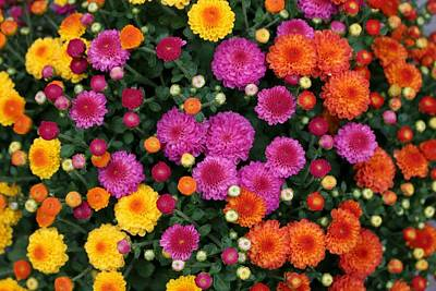 Photograph - Multi Colored Mums by Living Color Photography Lorraine Lynch
