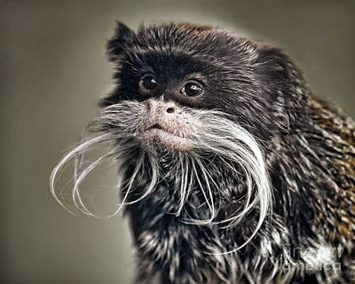 Photograph - Mustached Monkey Emperor Tamarin IIi  by Jim Fitzpatrick