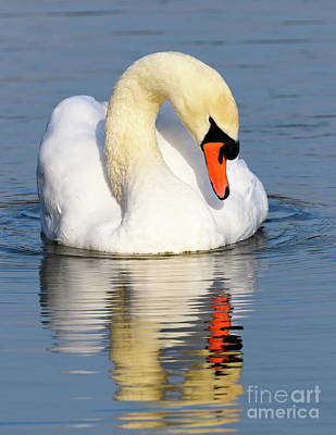 Photograph - Mute Swan by Colin Rayner