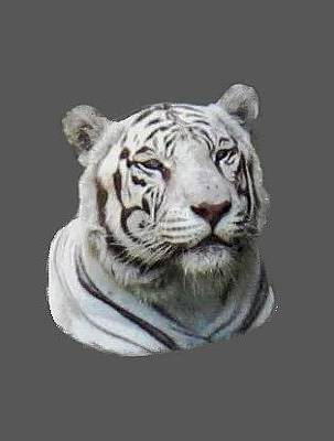 Photograph - Namaste White Tiger by Pamela Walton