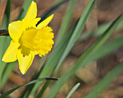 Photograph - Narcissus Camelot Daffodil_a1 by Walter Herrit