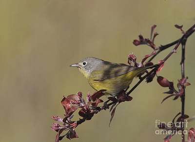 Grey Photograph - Nashville Warbler by Gary Wing