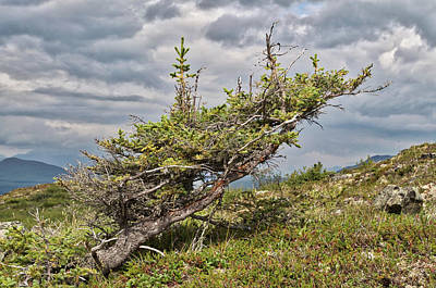 Photograph - Natural Bonsai With Cloudy Backdrop by Cathy Mahnke